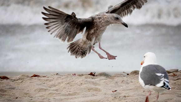 A bird comes in for a landing on the shores of Manhattan