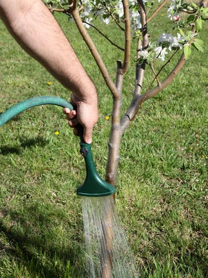 Gardener watering young fruit tree