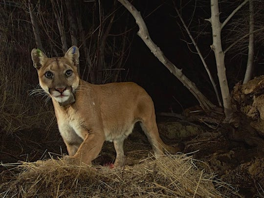 The picture is of the P35 Mountain Lion courtesy of the National Park Service