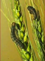 Armyworm larvae feeding on wheat heads.
