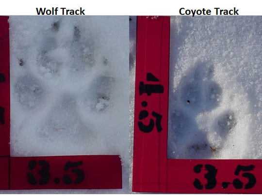 Can you tell the difference between a wolf track and a coyote track? Wolves have much longer tracks, and their claws point directly forward, according to Jennifer Kleitch, a wildlife biologist with the Department of Natural Resources.