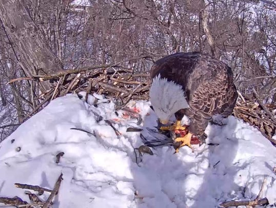 HES-submitted-021716-eagle cam prey.jpg