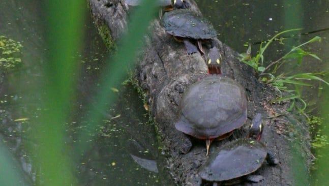 Turtles sunning on a log on Pelee Island, Ont.,