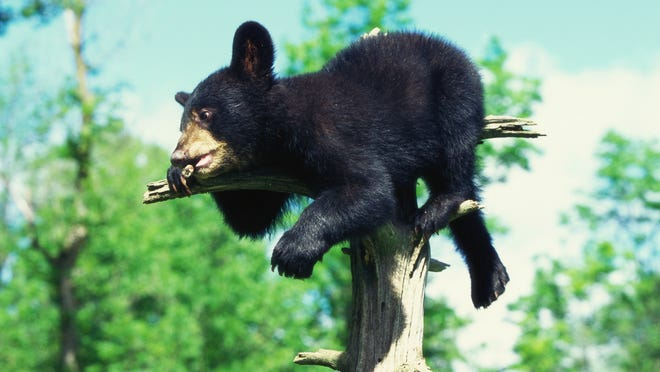 A young bear (not the one pictured) fell through a skylight into a birthday party in Alaska.