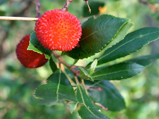 Meet the strawberry tree strawberrytreefruit2 the strawberry tree fruit is edible mightylinksfo