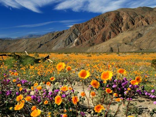 Anza Borrego wildflowers, photo by Joanne DiBona