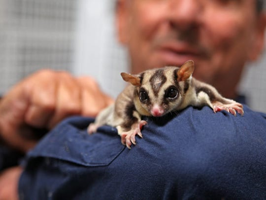 Charlie Sammut, director of the Monterey Zoo, holds a sugar glider