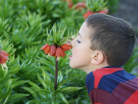 John Grisak experiences the skunky small of Fritillaria.