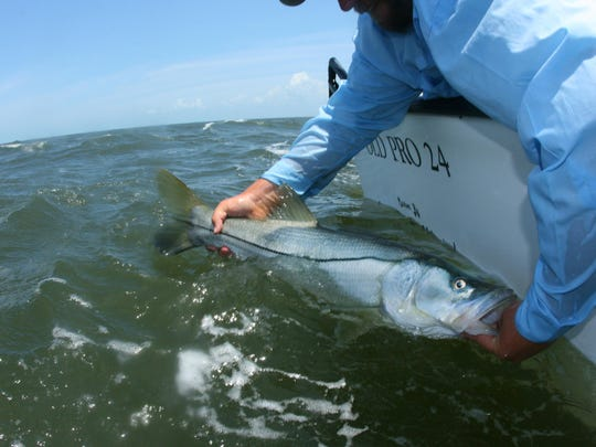 Everglades City Capt. Charlie Phillips releases a large snook.