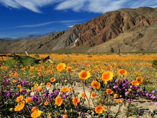 Anza Borrego wildflowers, photo by Joanne DiBona (2)