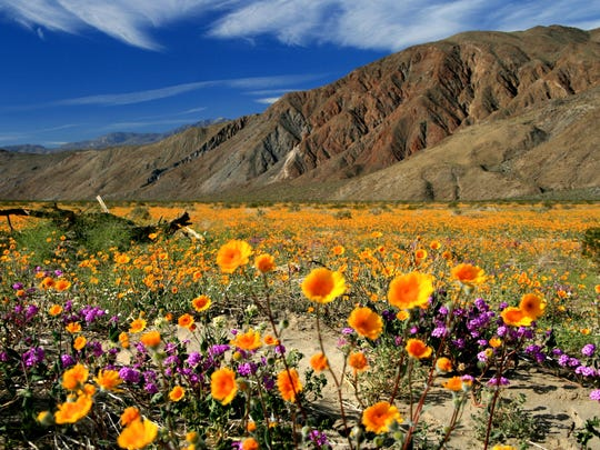 This winter's rainfalls had led to an epic super bloom in Anza-Borrego Desert State Park.
