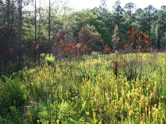 This pitcher plant bog is an example of the benefits of burning underbrush to maintain an open and diverse forest floor in the Kisatchie National Forest.