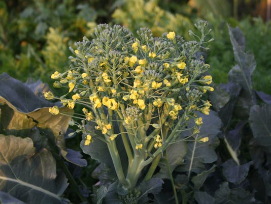 Broccoli bolts when the season heats up..JPG