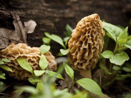 Morel mushroom prices can reach near $50 per pound.