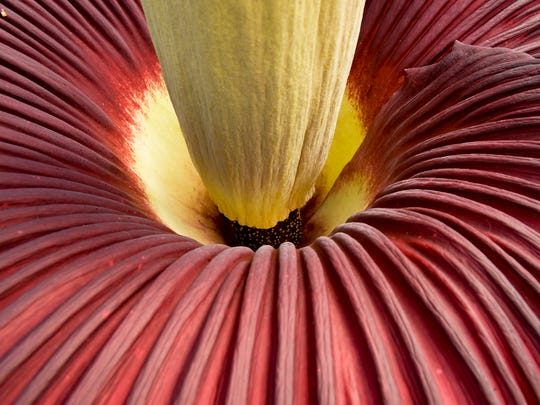 Looking deep down the stem and inside Cornell University's corpse plant, named Wee Stinky, during its March 2012 bloom.