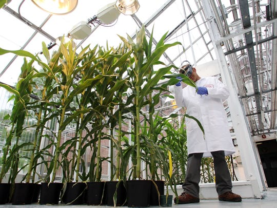 Greenhouse manager, Tom Taylor, inspects corn plants before sampling at the DuPont Experimental Station in Wilmington.