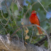 Tap once for warbler: Phone app lets you count Arizona birds for nature research