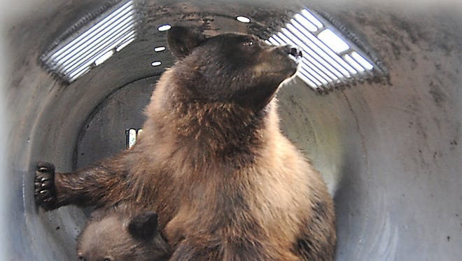 A black bear and her cub are shown in a trap last October at the Nevada Department of Wildlife on Monday in Reno. The trap is similar to the one allegedly tampered with in an Incline Village case this week.