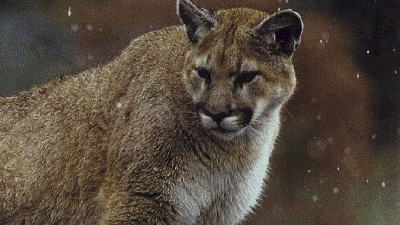 A mountain lion east of Wellington was shot and killed after it attacked several livestock animals.