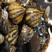 Minnesota confirms new zebra mussel infestation