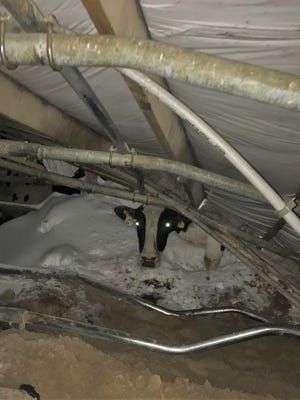 A cow is trapped but uninjured after a roof collapse at Sievert Dairy Farm, Sobieski, on April 15.