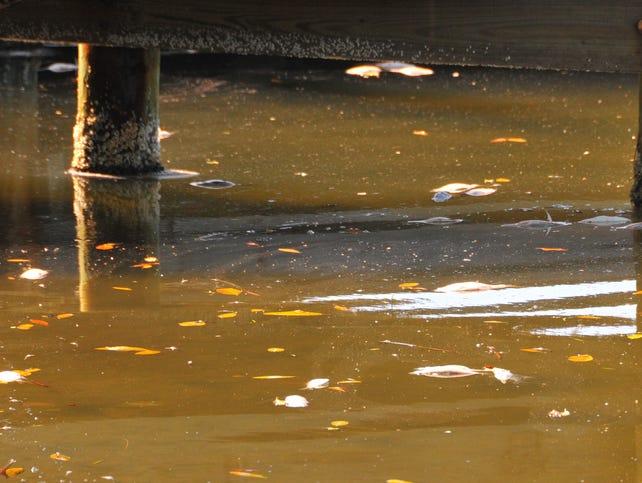 636382215124786047 Fish Kill in Banana River 10 In: Woeful Lack of Leadership From Putnam, Caldwell, Crisafulli and Gardiner | Our Santa Fe River, Inc. (OSFR) | Protecting the Santa Fe River
