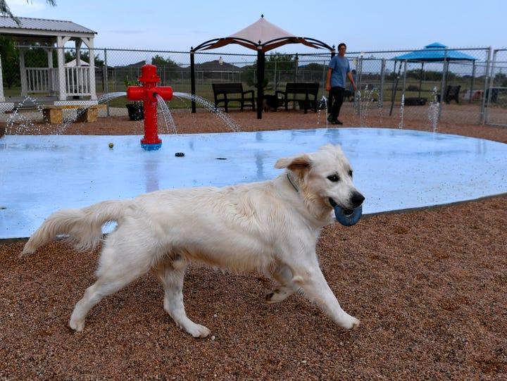 Elvis, a golden retriever, runs around the splash pad