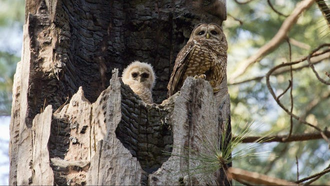 An adult female California spotted owl and owlet on the nest. A CALS research group has documented an exodus of owls following the fierce, 99,000-acre King Fire in California in 2015.