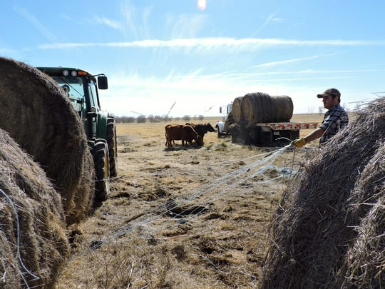 Tate Methvin collects loose bale twine on a sunny winter day while his brother, Tyler Methvin, puts a bale spike into a large bale of hay at the edge of a cow pasture north of Vernon, where the Methvin family runs Angus cows, black and red. Rainfall is up from the recent drought, but livestock prices are down from levels reached in 2015.