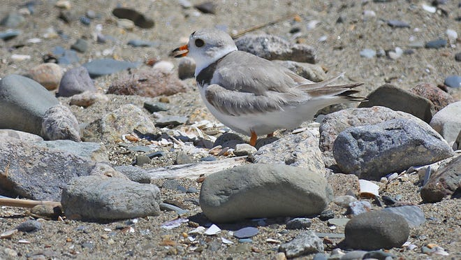 A piping plover on her nest in the middle of Wollaston Beach, Quincy.The rare plover has four eggs which she is sitting on amid beach goers on Thursday June 18, 2020 Greg Derr/The Patriot Ledger