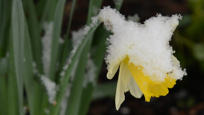 Daffodils are known as a sign of spring, but this snow-covered daffodil in Cleona gets a taste winter during a storm on Saturday, April 9, 2016.