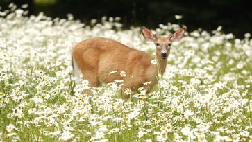 Saddle River committee proposes capturing, spaying deer