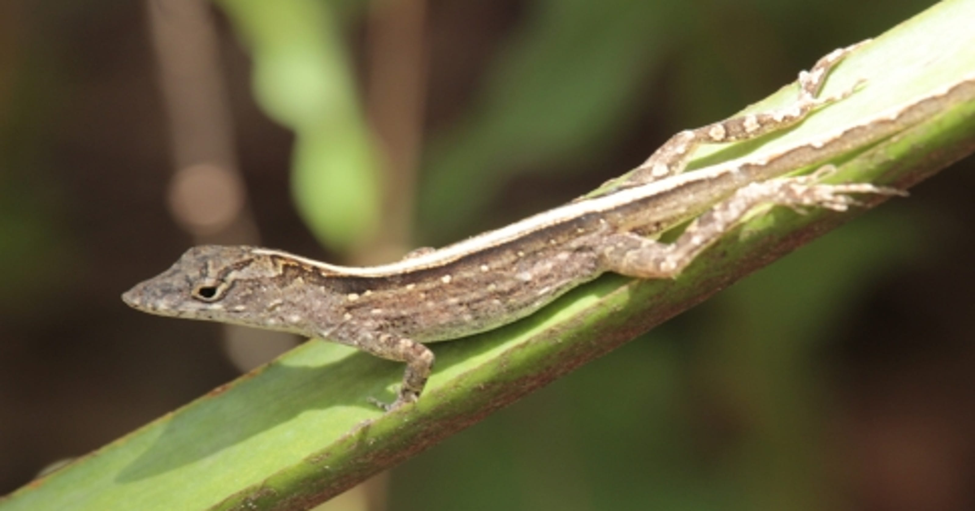 wild about texas brown anole got to texas as fast as it could