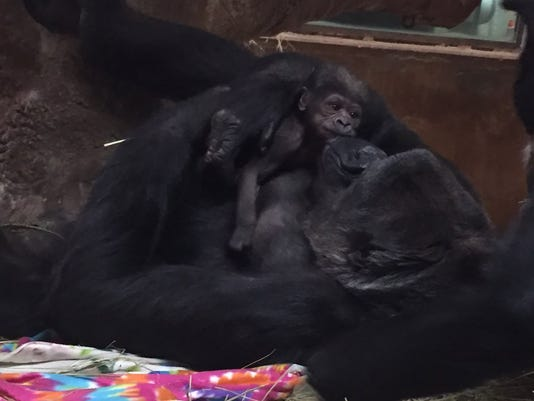 moke-gorilla-041718