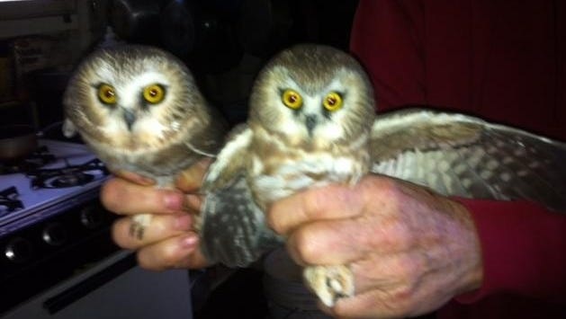 """Shown here are two saw-whet owls captured with """"mist"""" nets, banded and released at the Cedar Grove Ornithological Research Center during the fall migration. Saw-whet are small owls, 7 to 8 inches in length and with a wingspan of 17 to 20 inches. The Research Center is requesting donation to purchase new mist nets — they cost $1,000 each — for this fall's banding season. Can you help?"""