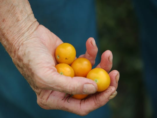 Mary Drzewiecki holds a number of small tomatoes Thursday from her plot in the Maple and Augusta Streets community garden in Green Bay.