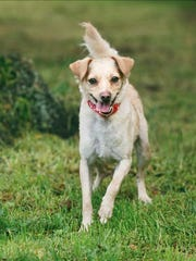 Miles, 2-year-old male terrier mix dog. No. 97627.