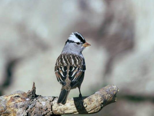 Whitecrowned_sparrow.jpg
