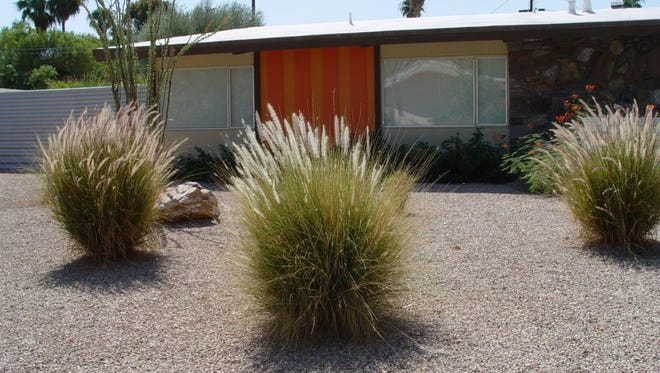 These mature examples of fountain grass show their overall shape and bloom.