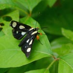 Eight-spotted forester moth.