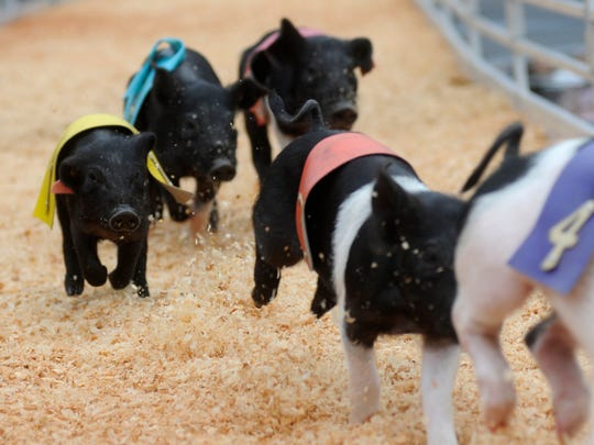 The junior pigs race during Rosaire's Royal Racing Pigs show at the State Fair at MetLife Stadium.