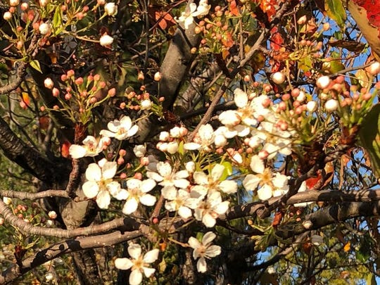 The pear trees blossomed early this January in Celeste Cantú yard in western Riverside County.