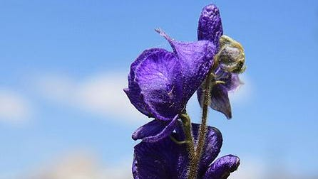 Monkshood may have caused the death.