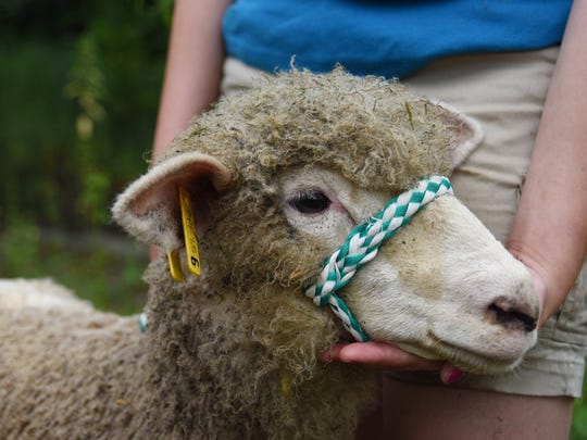 Calypso, a 6-month-old ewe, will be shown at the Dutchess