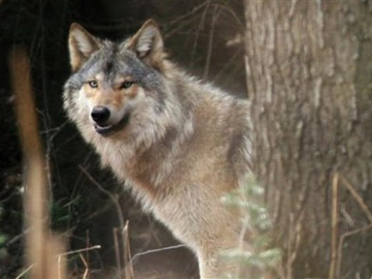 Gray wolves have increased to a record level in Wisconsin,