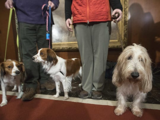 Two Nederlandse kooikerhondje breeds, from left, and a grand basset griffon are shown by their handlers.