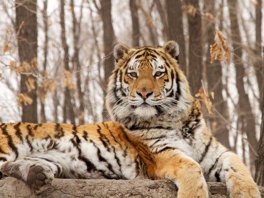 XXX SIBERIAN-TIGER-QUEST-NATURE-496-.JPG LIF ENT RUS PR