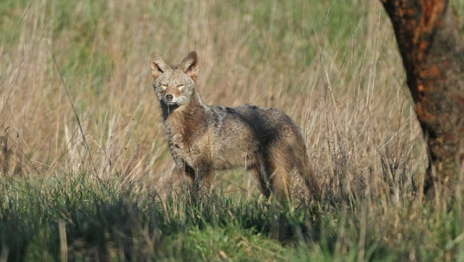 A coyote is photographed at Baskett Slough National Wildlife Refuge in February 2015.