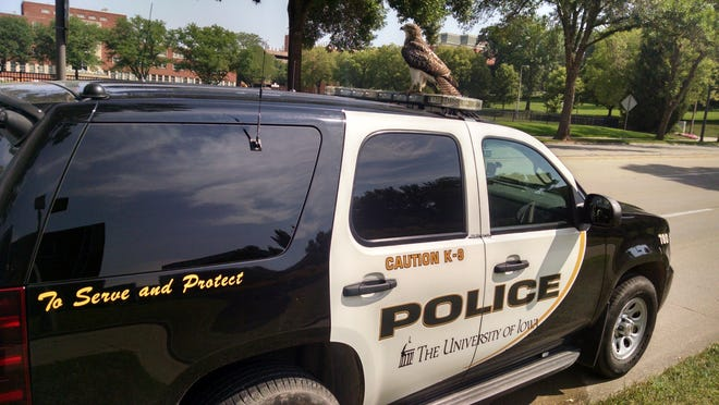 University of Iowa Police have fielded multiple calls this month regarding a hawk, shown Sunday here morning near the Becker Communications Studies Building. Wildlife experts said the hawk is not injured, but has received a lot of attention as the bird exhibits unusual behavior related to its fledgling learning process.