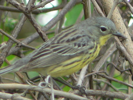 Kirtland's warbler at Ottawa National Wildlife Refuge